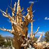 BC108<br /> Ancient Bristlecone trunk