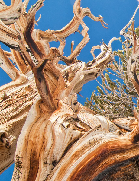 BC 102<br /> Close up of Bristlecone  showing beautiful wood underneath the rough bark.