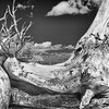 BC105<br /> Infrared image. Bristlecone trunk looks like a boot.