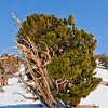 BC110<br /> This tree has been weather-beaten into the shape of a large shrub.