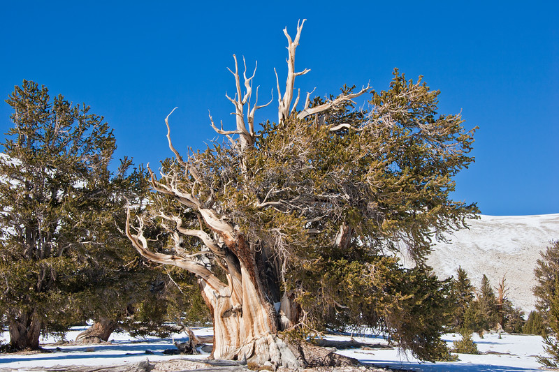 BC107<br /> The needles on the Bristlecone Pine are short, stubby, and dense.