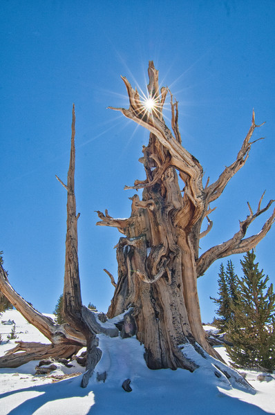 BC 101<br /> Sunburst through a twisted Bristlecone Pine.