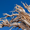 BC112<br /> Twisted branches on Bristlecone Tree. Let your mind wander looking at all the shapes.