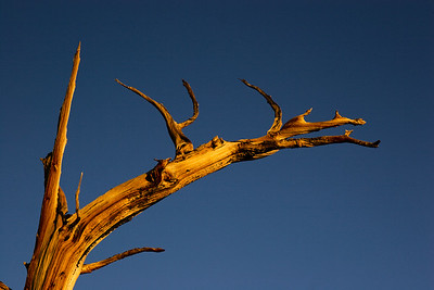 Bristlecone pine at dawn