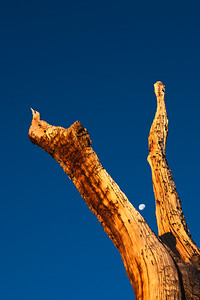 Bristlecone pine and moon.