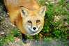 AND FOXES