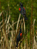 """Bicolored Blackbird,"" <em>Agelaius phoeniceus ssp.<em> Brooks Island, Richmond, Contra Costa Co., CA 2012/05/06"