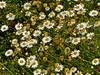 Argyranthemum foeniculaceum, Canary Island margeurite<br /> Brooks Island, Contra Costa Co., CA 2012/05/06
