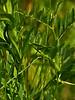 <em>Vicia americana ssp. americana</em>, American Vetch, native.  <em>Fabaceae</em> (=<em>Leguminosae</em>, Legume family). Brooks Island, Contra Costa Co., CA 2012/05/06, jm2p800