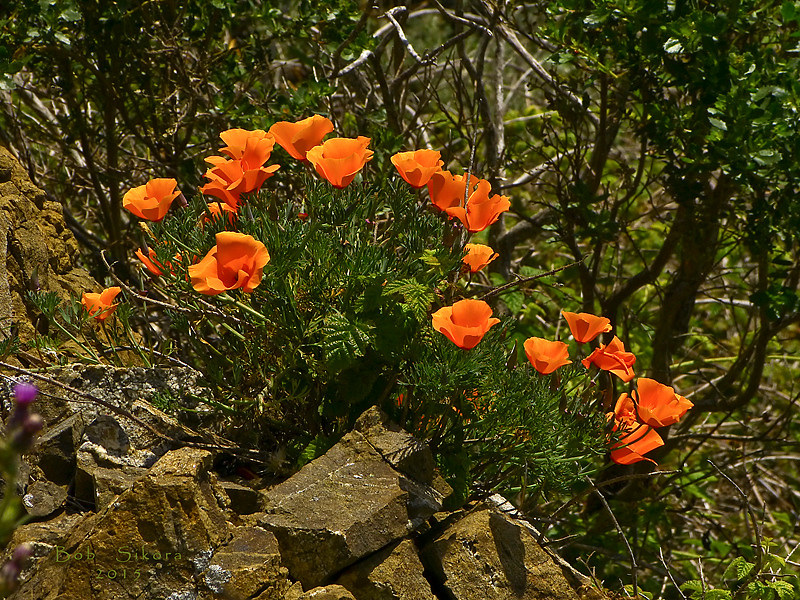 <em>Eschscholzia californica</em>, California Poppy, native.<em>Papaveraceae</em> (Poppy family). Brooks Island, Contra Costa Co., CA 2012/05/06, jm2p982