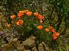 <em>Eschscholzia californica</em>, California Poppy, native.<em>Papaveraceae</em> (Poppy family). Brooks Island, Contra Costa Co., CA 2012/05/06, jm2p982