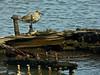 Willet, Tringa semipalmata<br /> Brooks Island, Richmond, Contra Costa Co., CA 2012/05/06