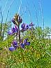 <em>Lupinus succulentus</em>, Arroyo Lupine, native.  <em>Fabaceae</em> (=<em>Leguminosae</em>, Legume family). Brooks Island, Contra Costa Co., CA 2012/05/06, jm2p778