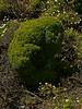 ? <em>Argyranthemum foeniculaceum</em>, Canary Island margeurite Brooks Island, Contra Costa Co., CA 2012/05/06