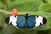 Blue & White Longwing