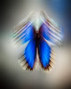 Blue Morpho Butterfly (Morpho Menelaus)<br /> Slow shutter speed made the wings appear blurred.