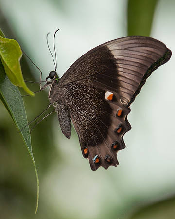 Brookside Butterfly pics - 2012