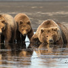 Brown bear sow rests on the tidal flats while her one year old cubs keep watch.