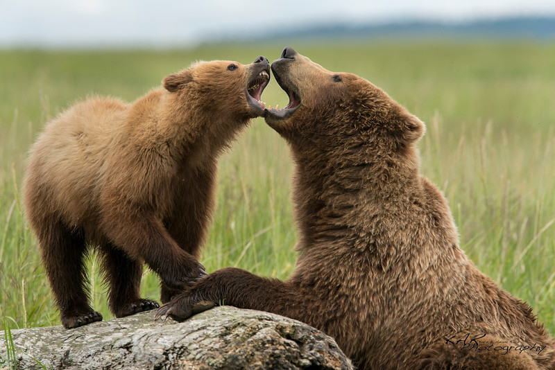 Brown bear cub acts tough for mom.
