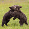 Brown bear cubs of the year wrestling in the sedge meadows.