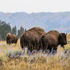 """There is a """"big"""" difference in the size of the Bulls, vs. the Cows, as you can clearly see in this image taken in Yellowstone during the Rut, Aug 3, 2015"""