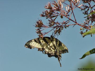 Butterfly 5 copy