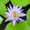 Bees on Water Hyacinth