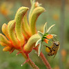 Bee on Kangaroo Paw