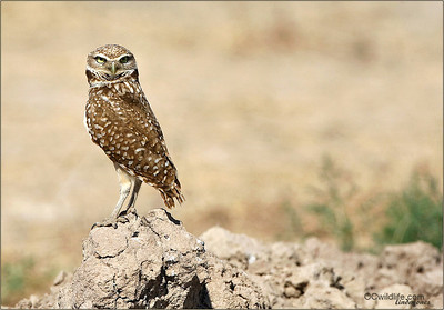 Have these owls accomplished survival? Or have they been edged out to the desert, the only workable burrowing area left? Colonies have have lessened in the past few years at a dangerous rate.