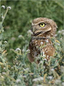 On alert, the Burrowing Owl already knows where to hide easily.