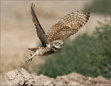 Burrowing Owl takes a fast chance for a flight.