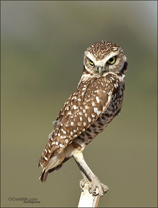 This Burrowing Owl was not as shy as most of them.