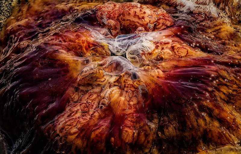 Lion's Mane Jellyfish photographed on Whidbey Island, Washington.<br /> © Cindy Clark