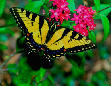 WesternTigerSwallowtail
