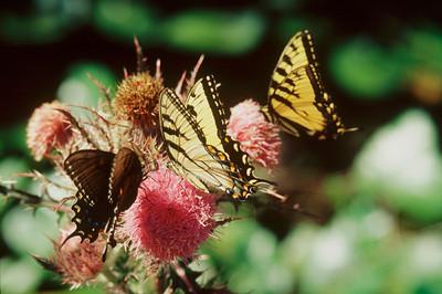 Butterfly Potpori