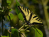 Western Tiger Swallowtail, Papilio rutulus<br /> Garden, Alameda, Alameda Co., CA