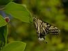 Western Tiger Swallowtail, <em>Papilio rutulus</em> Garden, Alameda, Alameda Co., CA  2012/05/22