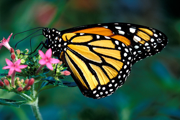 #102 Monarch Butterfly