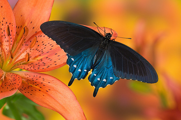 #084 Pipevine Swallowtail Butterfly