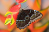 #004 Common Morpho Butterfly