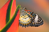 #081 Leopard Lacewing Butterfly