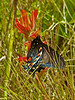 Pipevine Swallowtail, <em>Battus philenor</em>; nectaring on <em>Castilleja subinclusa,</em> ssp. <em>franciscana.</em> Kirby Cove, Golden Gate National Recreation Area, Marin Co., CA 2012/04/07   jm2p963-4