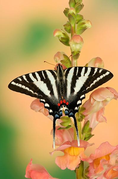 #230 Zebra Swallowtail Butterfly