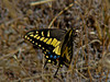 Anise Swallowtail, <em>Papilio zelicaon</em> Ring Mountain Open Space Preserve, Tiburon, Marin County, CA 6/20/10