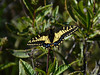 Anise Swallowtail, <em>Papilio zelicaon</em>. Mount Diablo State Park, Contra Costa Co., CA 4/25/10