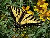 Western Tiger Swallowtail, <em>Papilio rutulus</em> on Mexican Marigold. Garden, Alameda, CA  6/3/07