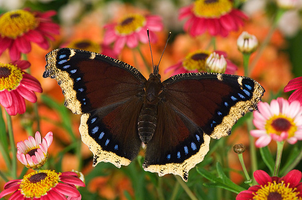 #264 Mourning Cloak Butterfly