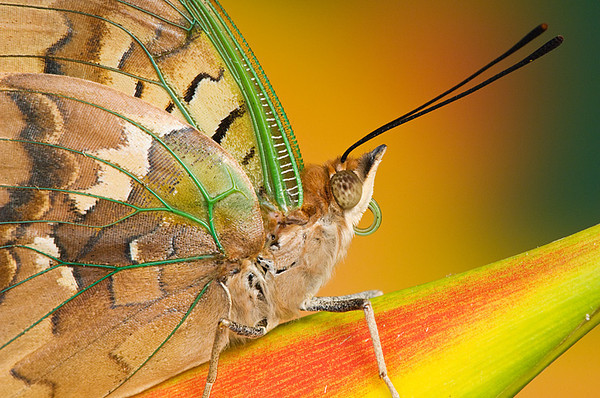 #059 Green-veined Charaxes