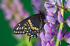#231 Black Swallowtail Butterfly
