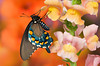 #085 Pipevine Swallowtail Butterfly
